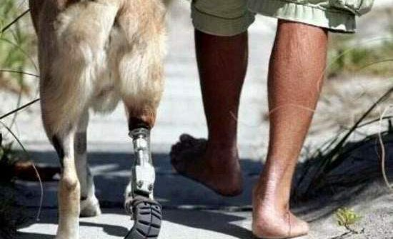 military dog amputated leg